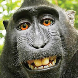 Federal Appeals Court rules that a Monkey cannot copyright his own selfies