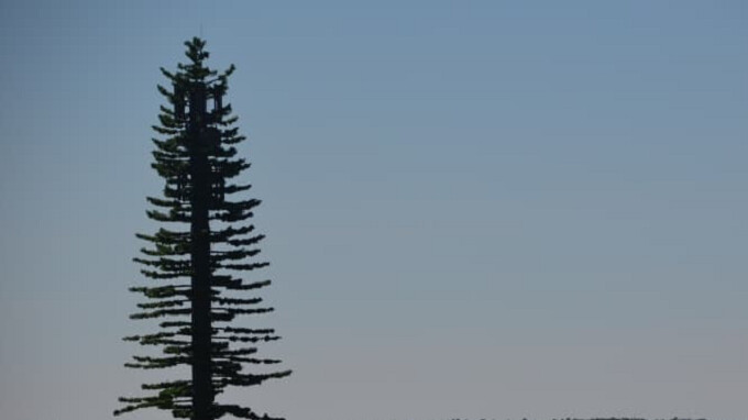 Canadian carrier disguises cell tower as very tall pine tree