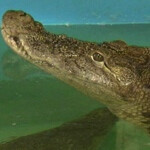 Aquarium croc gets the blues after swallowing a visitor's cell phone