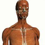 Google Body is the Google Maps of human anatomy