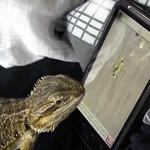 Lizard shows off