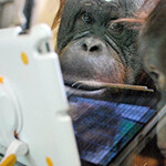 Orangutans to use iPads, video chat thanks to Apps for Apes project