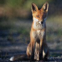 Sly fox steals a smartphone, then answers a phone call and sends a text