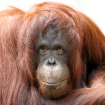Apps for apes: give your old iPad to a bored orangutan