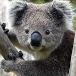 Koala-ity phone: Four Australian carriers announce that they will carry the Samsung Galaxy S 4