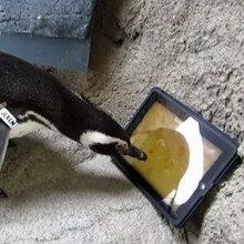 Watch Newsom the penguin set a personal high score on an iPad game made for cats