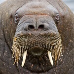 Fly your own drones with Fighting Walrus Radio