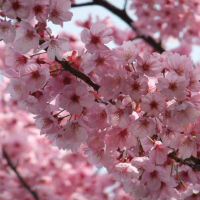 Images show Windows Phone 8.1 update nicknamed Cherry Blossom Pink by Nokia