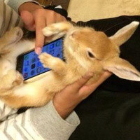 Latest craze in Asia: use a live bunny (a cat will also do) as a smartphone case