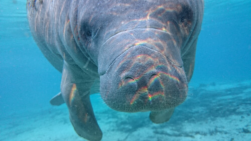 Underwater photographer takes the Sony Xperia Z1S for a dive among manatees