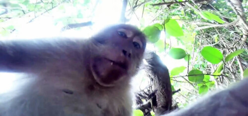 Monkeys are into selfies too