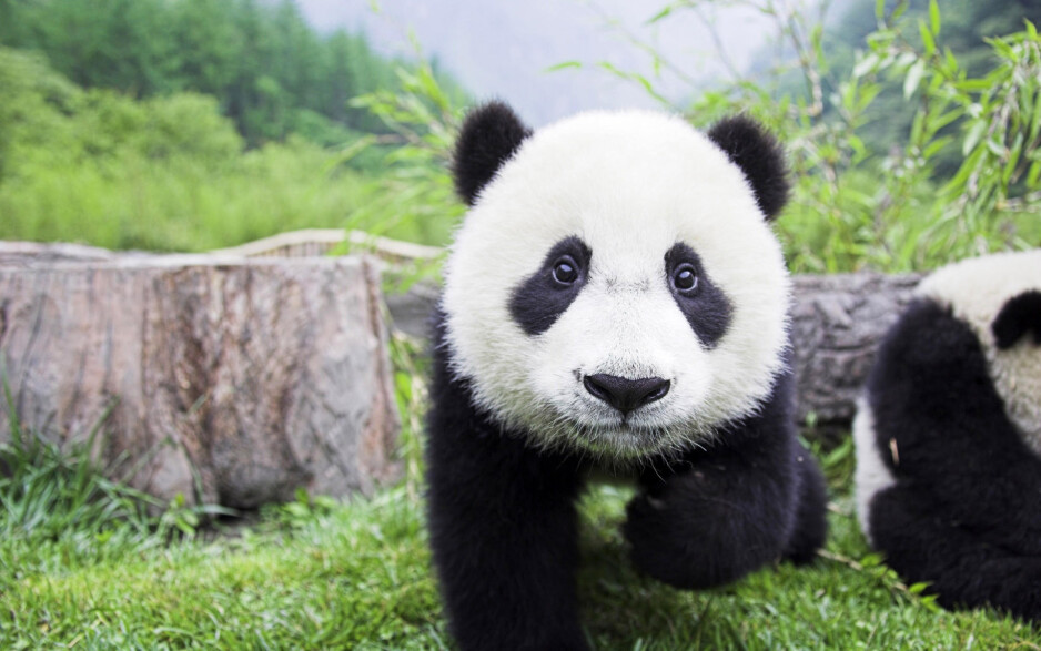Cute panda. Do you need any more reasons to learn Chinese? - Best Android and iPhone apps to learn Chinese
