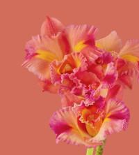 Pixel-6-Pro-WallpaperCattleya-Orchid-light-by-Andrew-Zuckerman