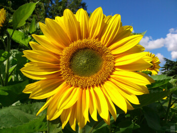 6. Jan Jurek - Sony Ericsson ArcGreenwich sunflower