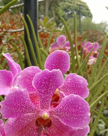 5. Edwin Adrianta - Nokia N8Orchid - Singapore National Orchid Garden