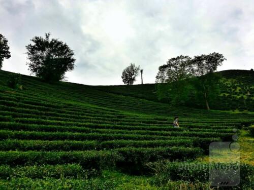 Ryan Scott - Samsung Galaxy S IIITea farm in Chiang rai Thailand