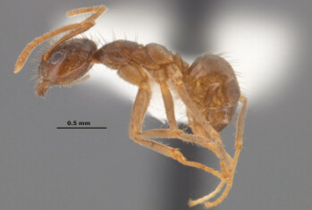 The Rasberry crazy ant will eat the inside of your smartphone