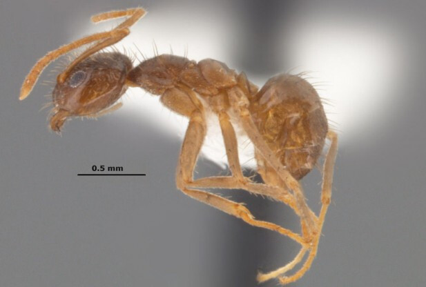 The Rasberry crazy ant will eat the inside of your smartphone - Will ants eat the inside of your smartphone?