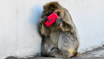 Monkey in the Helsinki Zoo finds a Nokia Lumia 800 in pink