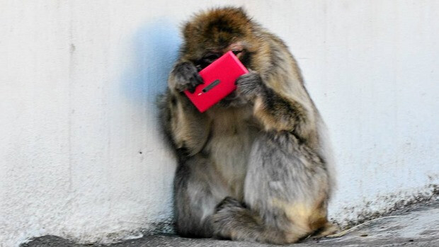 Monkey in the Helsinki Zoo finds a Nokia Lumia 800 in pink - Monkeying around with the Nokia Lumia 800